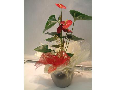 Anthurium Plant Large