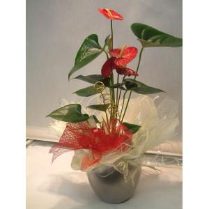 Anturium Plant Small +Pot