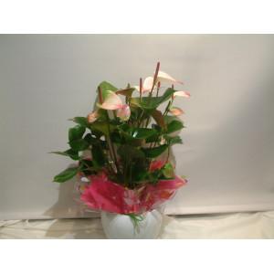 Pink Anthurium & Pot