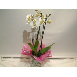 Easter White Orchid & Pot